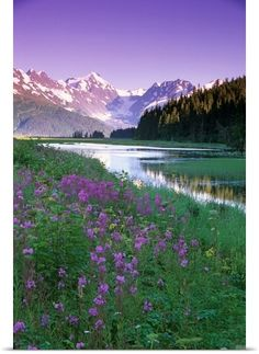 Summer fireweed in bloom, Chugach National Forest, Alaska