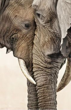 Elephant love / the eyes are the windows of the soul / elephant pictures animal / nature photography. I believe Elephants are one of the most soulful creatures on this earth. Nature Animals, Animals And Pets, Baby Animals, Cute Animals, Wild Animals, Baby Hippo, Baby Cows, Baby Elephants, Funny Animals