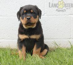 #Rottweiler #Charming #PinterestPuppies #PuppiesOfPinterest #Puppy #Puppies #Pups #Pup #Funloving #Sweet #PuppyLove #Cute #Cuddly #Adorable #ForTheLoveOfADog #MansBestFriend #Animals #Dog #Pet #Pets #ChildrenFriendly #PuppyandChildren #ChildandPuppy #LancasterPuppies www.LancasterPuppies.com Rottweiler Puppies For Sale, Lancaster Puppies, Animals Dog, Mans Best Friend, Puppy Love, Doggies, Labrador Retriever, Pets, Children
