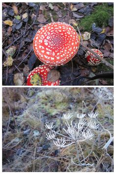 Mia's Wildlife Photography Competition - Winter-Lily age 5, has shared with us her two favourite nature photos. Fly Agaric toadstools photo was taken in the woods and The frost covered stem was photographed in the Nature Reserve. We love these! Thanks for sharing! :)