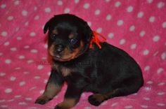 Red Female #pachecorottweilers #puppy #familydog #rottweiler #cute