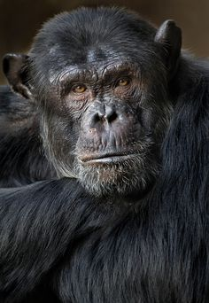 Chimpanzee by Carles Just