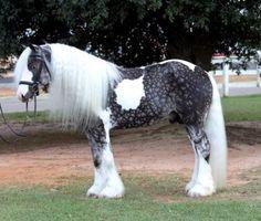Unique horse breeds - Silver Dappo Pinto - Beautiful Show Horse All The Pretty Horses, Most Beautiful Horses, Animals Beautiful, Rare Horses, Wild Horses, Dapple Grey Horses, Arte Equina, Rare Horse Breeds, Gypsy Horse
