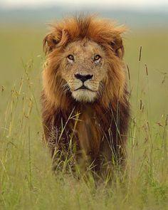 Lion - Masai Mara, Kenya by brianscott_photography