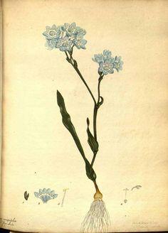 111265 Lapeirousia corymbosa (L.) Ker Gawl. var. flore caeruleo [as Ixia crispifolia Andrews var. flore caeruleo]  / The botanist's repository [H.C. Andrews], vol. 1: t. 35 (1797-1798) [H.C. Andrews]