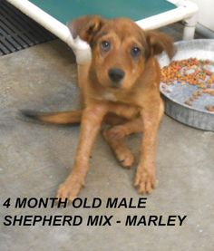 ***SUPER URGENT!!!*** - PLEASE SAVE ME!! - EU DATE: 7/17/2014 -- marley Breed: Shepherd (mix breed) Age: Under 6 months Gender: Male Size: Medium, hasShots - The shelter is FULL, Please don't leave him there. . Call Silvia and Debbie now,,,,,Silvia is 910-876-0539 and Debbie is 339-832-0806. If Silvia's mailbox is full you can Text her. Transportation is generally available up and down the East Coast from NC, VA, MD, NJ, PA, NY and the North East.