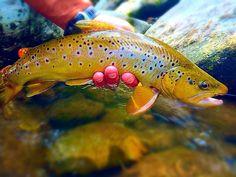 Brown Trout - very pretty specimen!