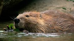 """From the """"Meanwhile in Canada"""" files: Saskatoon beaver herds 150 cattle. Canadian Animals, Canadian Wildlife, Animals For Kids, Animals And Pets, Funny Animals, Adorable Animals, Love Pictures, Animal Pictures, Meanwhile In Canada"""