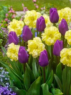 6 Purple Yellow Tulip Daffodil Bulbs Mix Spring Flower Garden Hardy Perennial Garden Flower Sun Shade Early Bloom Container Fall Spring by ToadstoolSeeds on Etsy Shade Flowers, Bulb Flowers, Purple Flowers, Spring Flowers, Beautiful Flowers, Spring Plants, Spring Bulbs, Spring Garden, Fall Perennials