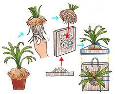 ビカクシダ(Platycerium ssp.)の育て方