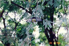 38 papillon