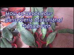 Sansevieria Masoniana How to Repot - YouTube Whale, Tutorials, Gardening, Youtube, Whales, Lawn And Garden, Youtubers, Youtube Movies, Horticulture