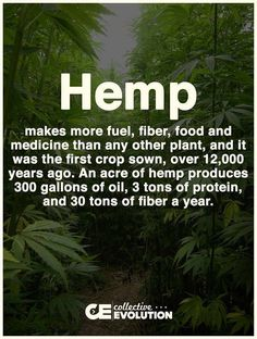 Hemp makes more fuel, fiber, food and medicine than any other plant, and it was the first crop sown, over 12,00 years ago. An acre of hemp produces 300 gallons of oil, 3 tons of protein, and 30 tons of fiber a year. Oil Benefits, Health Benefits, Health Tips, Ganja, Endocannabinoid System, Hemp Seeds, Medical Marijuana, Hemp Oil, Herbs