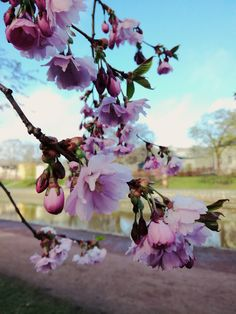 Lumisia kirsikankukkia.  #cherryblossom #cherry #flowers #turku #finland Finland Destinations, Finland Travel, Cherry Blossom, Turku Finland, Most Beautiful, Lifestyle, City, Flowers, Plants