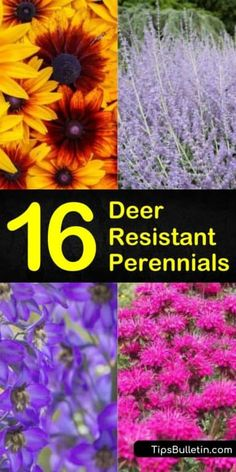 Deer Resistant Perennials that Won't Be on the Wildlife Menu Come and learn how to create a deer resistant perennial garden in your front yard. Deer resistant perennial plants are more than just ornamental grasses. They include drought-tolerant plants and Partial Shade Perennials, Part Sun Perennials, Purple Perennials, Fall Perennials, Long Blooming Perennials, Perennial Grasses, Flowers Perennials, Ornamental Grasses, Perennial Flowers For Shade