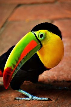 Tucan of Cartagena de Indias