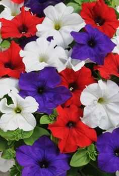 Petunia Surfinia Plants - Fly The Flag 3x3