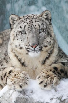 Snow Leopards fur go all around their feet. This acts as a snowshoe and keeps them from falling and freezing