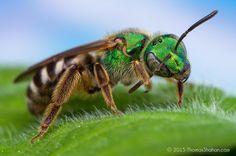 Thomas Shahan | Agapostemon sp. bee