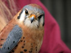 This is Puck an American Kestral  (Source)  Picasa Web Albums - leeleedetra