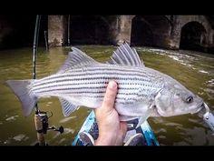 Striper on the Lower Hooch - Catch N Release 5.17.18