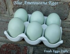 What Makes a Blue Egg Blue? -- Community Chickens
