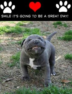 Ideas Funny Pictures Of Dogs Pitbull Funny Pictures With Captions, Funny Animal Pictures, Funny Animals, Cute Animals, Funny Photos, Pit Bull Dogs, Dogs Pitbull, Cute Puppies, Cute Dogs