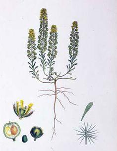 A 19th century botanical illustration of Alyssum Calycinum.