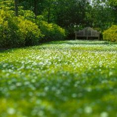 Green Lawns Without a Blade of Grass clover lawn! Much easier to keep green than grassclover lawn! Much easier to keep green than grass Clover Lawn, Moss Lawn, Grass Alternative, No Mow Grass, Landscape Design, Garden Design, Lawn Sprinklers, Ground Cover Plants, Green Lawn