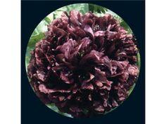 flower, poppy black peony | Baker Creek Heirloom Seed Co