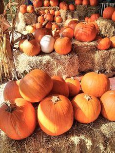 Pumpkin Patch Pictures, Planting Pumpkins, Pumpkin Farm, Pumpkin Plants, Autumn Aesthetic, Autumn Cozy, Fall Wallpaper, Happy Fall Y'all, Fall Pictures