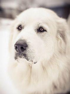 Taffy, my Great Pyrenees dog.