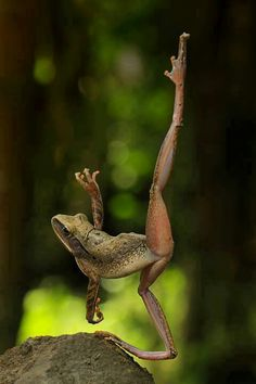 Photo of the day: a frog dancing ballet!Photo: Dion Feleo Bastian - House of Bohemian Funny Frogs, Cute Frogs, Animals And Pets, Funny Animals, Cute Animals, Beautiful Creatures, Animals Beautiful, Animals Amazing, Wale