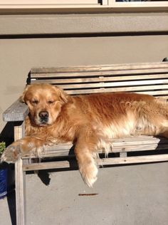 """Golden Retriever of the Month """"Barney"""" from New Zealand"""