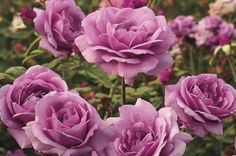 Sugar Plum Hybrid Tea Rose (Jackson & Perkins). Lavender blooms with a delightful fragrance reminiscent of sweet peas. Zones 5 – 10.