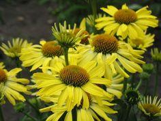 Echinacea 'Cleopatra' | Plants Nouveau- smaller prolific bloomer!