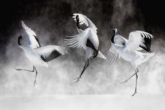 Cranes Courtship Dance by philip Japanese Crane, Japanese Art, Feather Art, Bird Feathers, Beautiful Birds, Animals Beautiful, Animal Photography, Nature Photography, Crane Dance