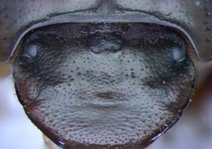 'Cyclops' Beetle Grows Third Eye on Its Head Baby beetles with three compound eyes, one in the center of their heads, are teaching scientists something about how new facial traits evolve.