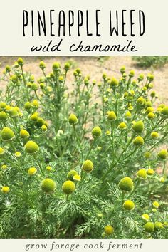 Foraging for Pineapple Weed (Wild Chamomile) + Pineapple Weed Tea - Healty fitness home cleaning Calendula Benefits, Lemon Benefits, Coconut Health Benefits, Weed Tea, Growing Herbs In Pots, Chamomile Growing, Pineapple Planting, Types Of Tea, Natural Antibiotics