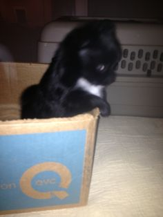 Mi Amor @ 38 days old 12/3/2015. She is being potty trained to use the box, and to go outside.  For more info on adoption. Call:  Elaine Wade's Chihuahuas, Sebring Florida Cell: (517) 745-3652