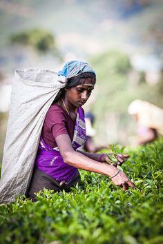 Tea picker . Sri Lanka