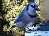 Blue jay - yard bird f