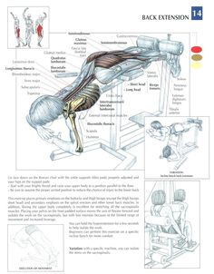 Back Extensions ♦ #health #fitness #exercises #diagrams #body #muscles #gym #bodybuilding #back