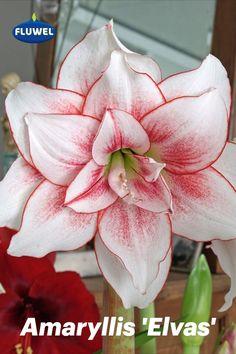 Die 'Elvas' ist eine weiße Amaryllis mit einem brennenden Herzen – ein schöner Kontrast. Doch sie ist nicht nur ein blühender Traum, sondern eignet sich auch wunderbar als Topfpflanze und entwickelt immer zwei kräftige Stängel, manchmal sogar drei, mit Blüten, die lange blühen. Übrigens: Steht die Pflanze heller, zeigt sich die rote Farbe im Blütenherzen intensiver. An einem dunkleren Standort ist das Rot weniger hell und die anmutigen roten Ränder an den Blütenblättern heben sich stärker… Elvas, Amaryllis, Rose, Flowers, Plants, Pink, Red Paint, Love At First Sight, Daffodils