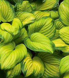 Learn more about Hosta 'Stained Glass' (Plantain Lily)! Read up on this plant or stop into Sunnyside Gardens in Minneapolis to talk to our experts! Sun Garden, Shade Garden, Garden Plants, Part Shade Perennials, Shade Plants, Plantain Lily, Hosta Varieties, White Flower Farm, Nature