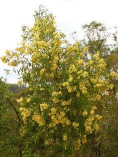 A wattle tree in full bloom - Australia