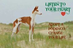 Listen to your heart- adopt a Podenco-change your life