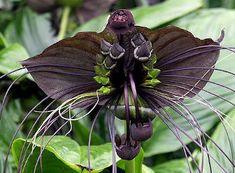 BLACK BAT PLANT - Tacca chantrieri - Plants Distributors Qld | Online Plants Sale | Plants Nurseries Queensland