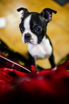 Boston Terrier -- Asking For My Attention