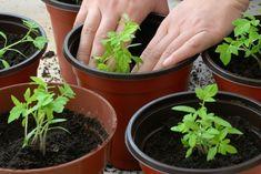 Balkon Bepflanzen Topfen Gemuese Tomatenpflanzen